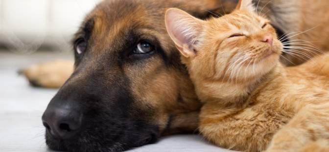 cat lying on a dog