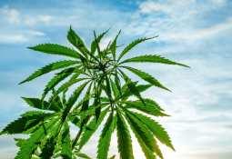 Cannabis plant in the sun