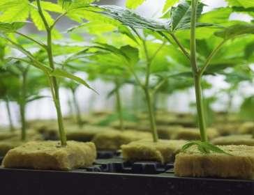 pick of marijuana plants