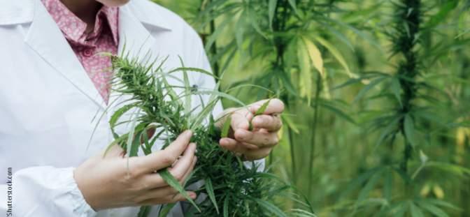 Scientist with a marijuana plant